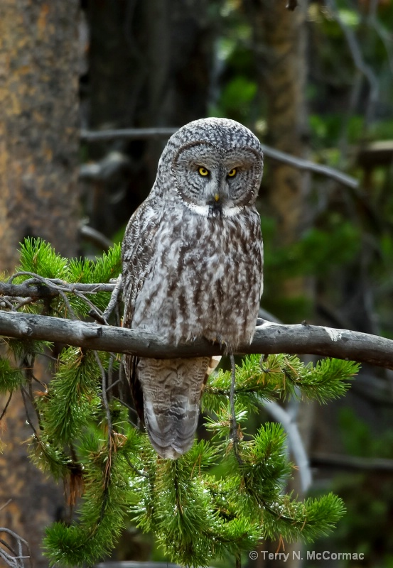 The Wise Old Owl - ID: 14850101 © TERRY N. MCCORMAC