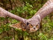 Horned Owl in Fli...