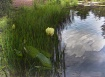 Last Lotuses