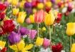 Tulips of Oregon