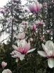 Magnolias with 10...
