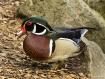 Carolina Duck