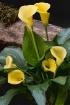 Yellow Calla Lill...