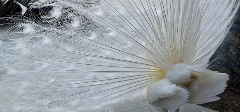 Peacock Elements 2  - ID: 14884679 © Fax Sinclair