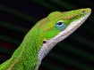 Texas Green Anole...