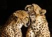 """Cheetah Love..."