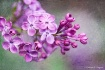 Look...The Lilacs...