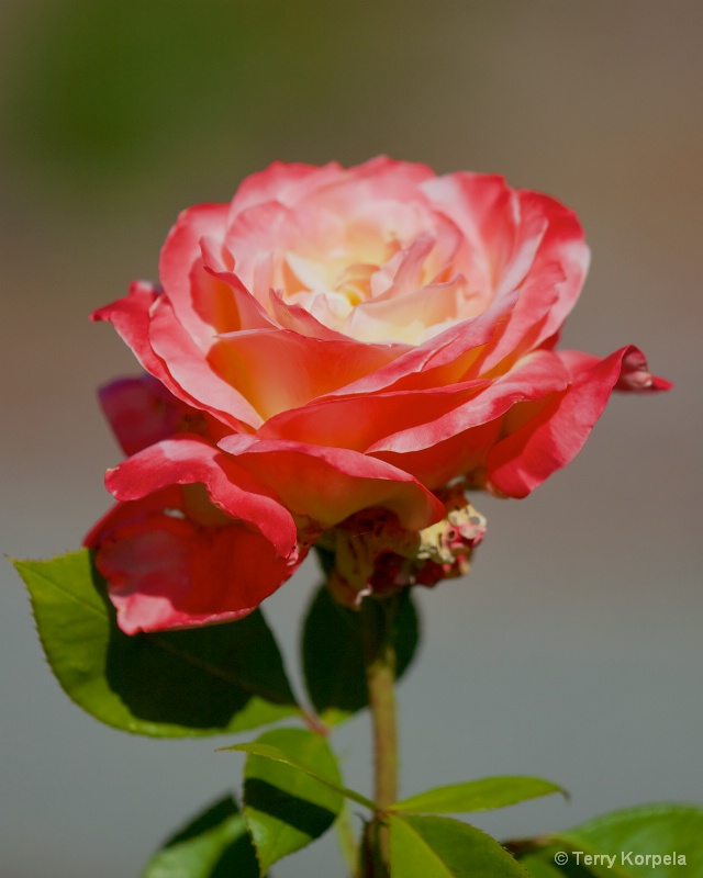 a Rose - ID: 14895638 © Terry Korpela