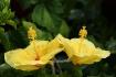 Yellow Hibiscus D...