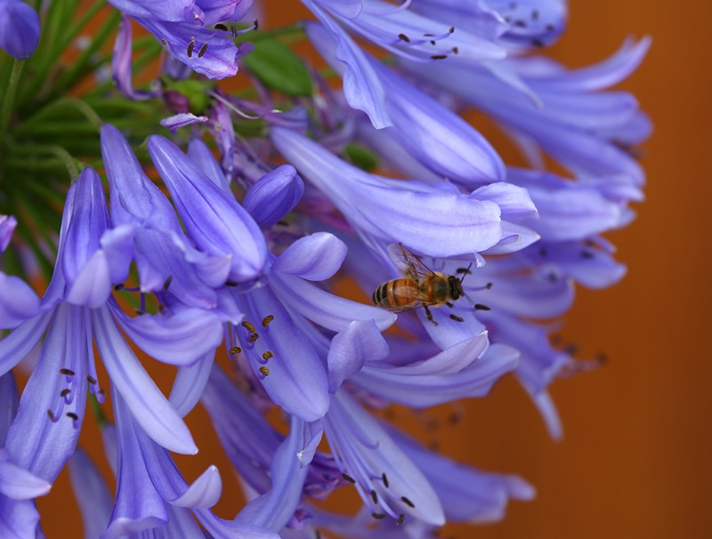Agapanthus and Bee