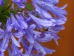 Agapanthus and Be...
