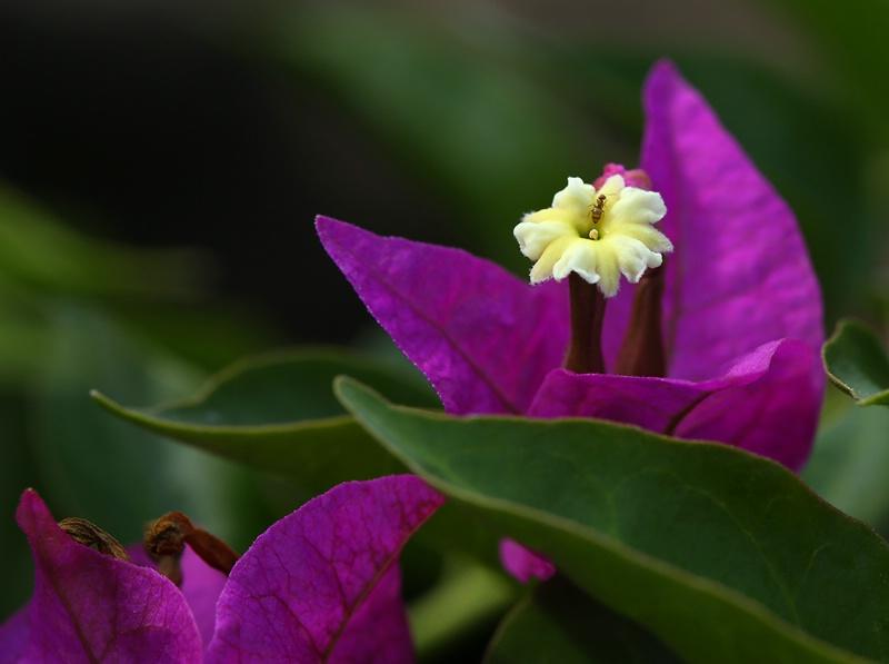 Bougainvillea Macro