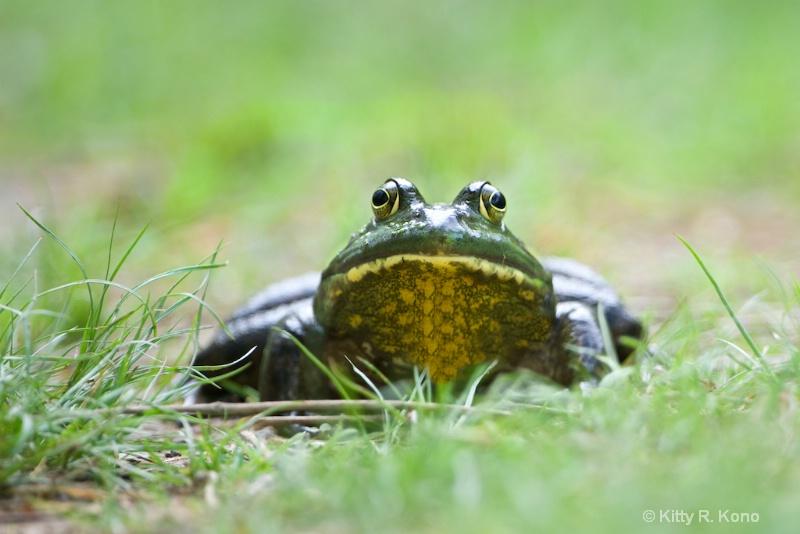 froggie in the grass 1644 - ID: 14899485 © Kitty R. Kono