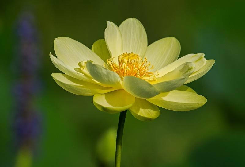 American Lotus - ID: 14900033 © Michael Cenci