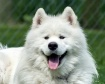 Samoyed Puppy at ...