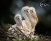 Baby wood stork c...