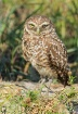 Burrowing Owl on ...