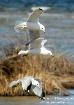 Seagulls in Fligh...