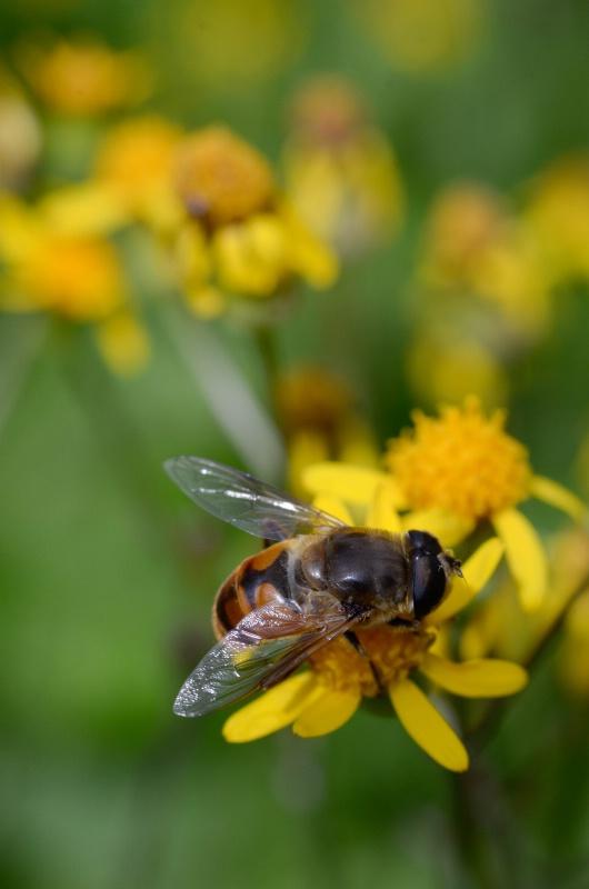 Bee I - ID: 14918025 © Nora Odendahl