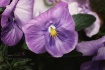 Pansy Paint