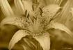 Flower- Antique L...