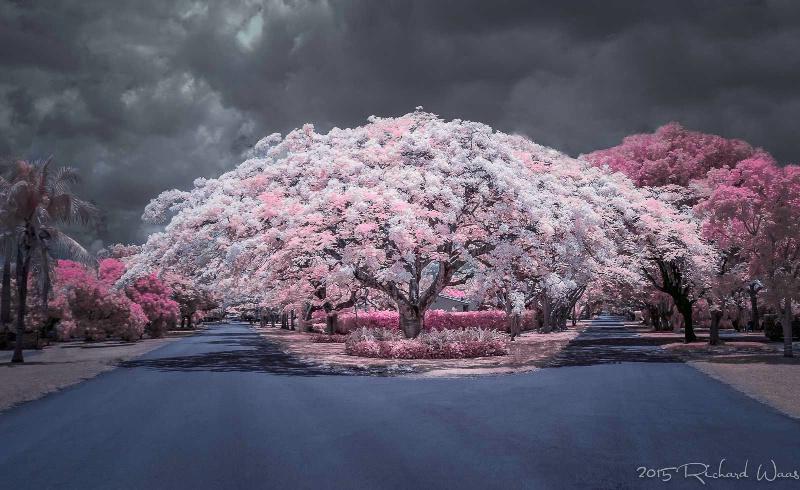 Royal Poinciana in Infrared - ID: 14924096 © Richard M. Waas