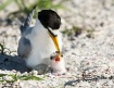 Least Tern Egg an...
