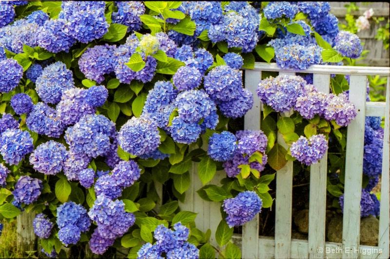 Cape Cod Blue Hydrangeas - ID: 14937402 © Beth E. Higgins