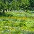 © Thomas L  Willis PhotoID# 14951052: Live Oaks, Bluebonnets and mixed flowers