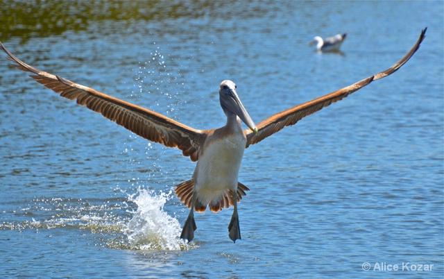 Pelican Soaring After Fishing! - ID: 14965250 © Alice Kozar