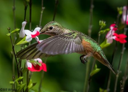 Freeze Frame Hummingbird