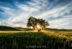 Lone Tree at Sund...