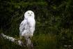 Snowy Owl Portrai...