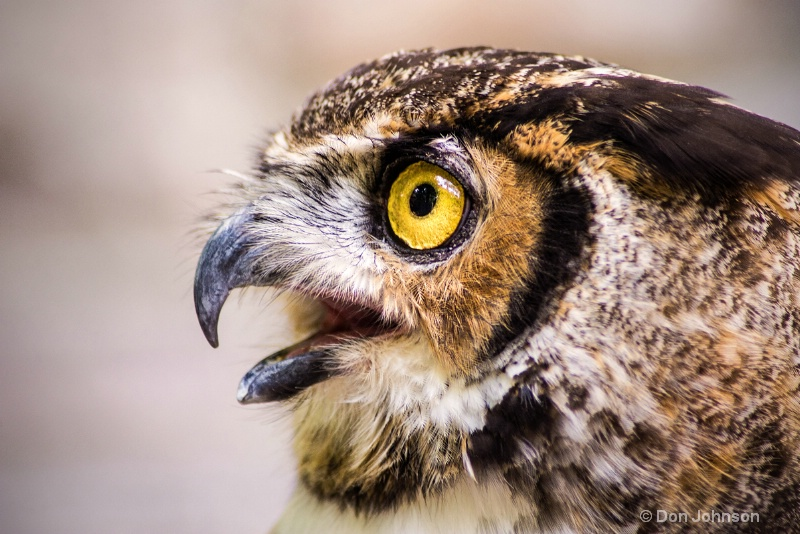 Great Horned Owl Profile 3-0 f lr 8-16-15 j119
