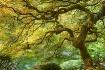 ~Japanese Maple~