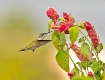 Hummingbird 13