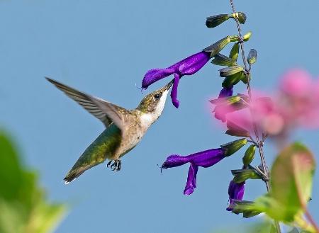 Hummingbird 12
