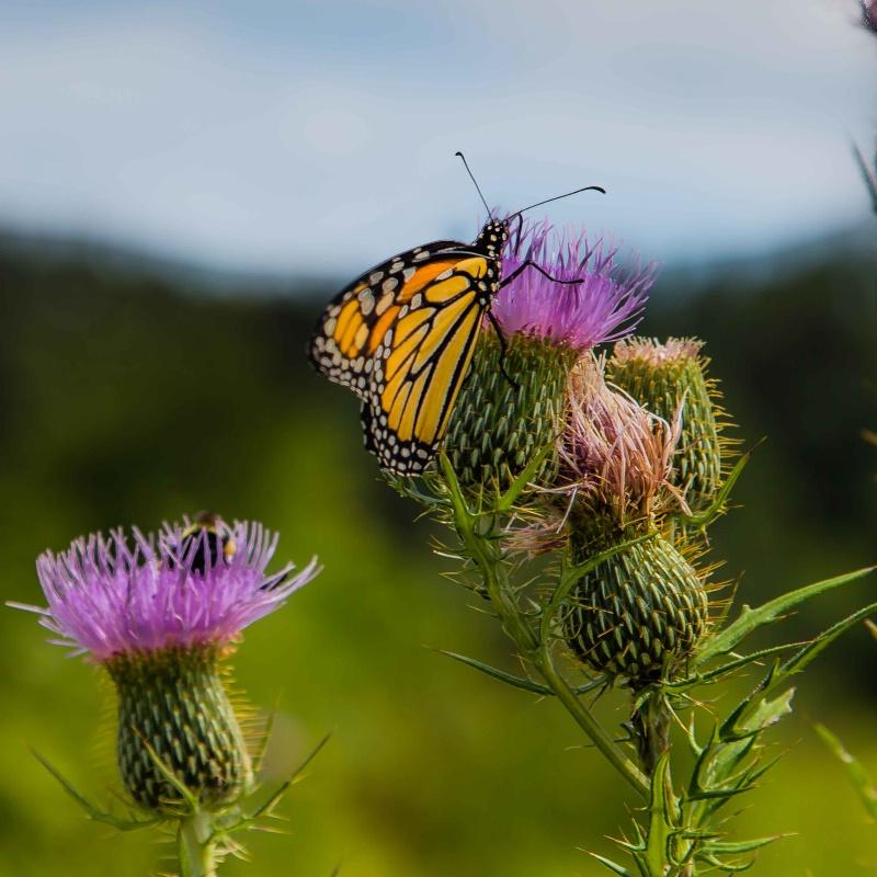 Mnoke Prarie Monarch Butterfly 2015 - ID: 14978086 © John A. Roquet