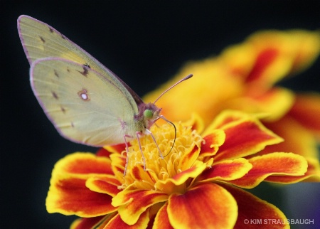 Butterfly & Marigold