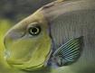 Nice: a fish