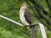 Cooper's Hawk...