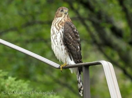 Cooper's Hawk Visitor