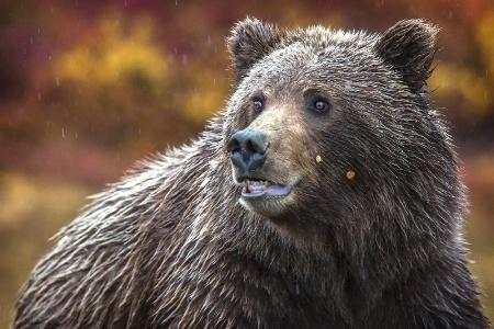 Denali Grizzly Portrait