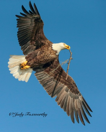 Bald Eagle Carrying A Stick In It's Beak