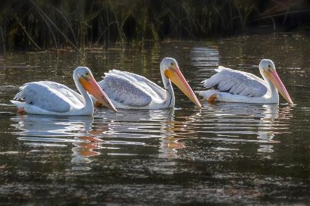 White Pelican Trio2  5606