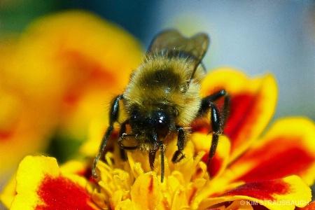 Bumble Bee Atop The Marigold