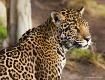 The Beautiful Jag...