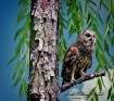 Barred Owl Watchi...