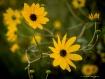 Yellow Wildflower...