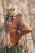 dried hydragea